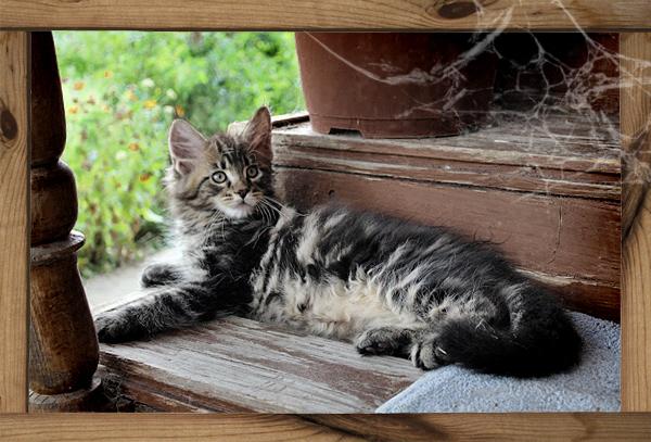 Lynx Shadow - питомник кошек породы мейн кун, Москва