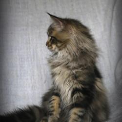 Lynx Shadow Yacare