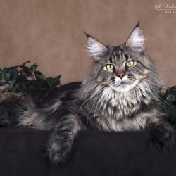 lynx shadow maine coon