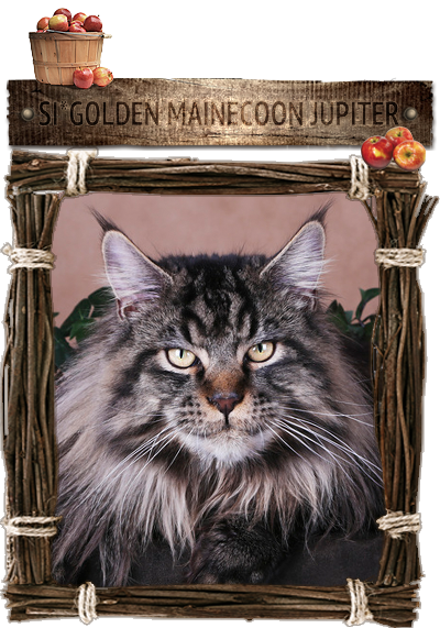 Кот мейн-кун SI*Golden Mainecoon Jupiter